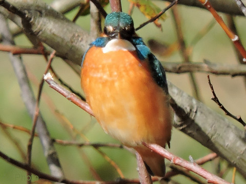 20170102-01_kingfisher.JPG