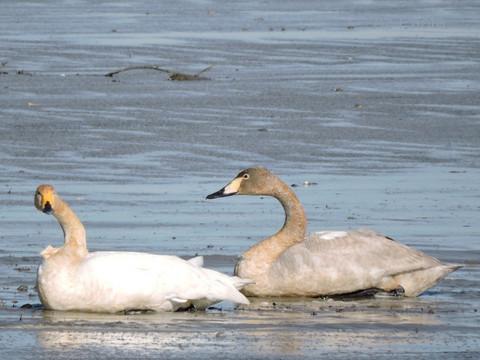20170102-03_large-swan.JPG