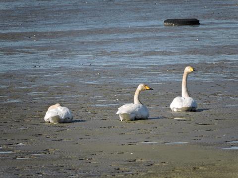 20170115-06_large-swan.JPG