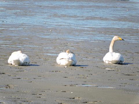 20170115-07_large-swan.JPG