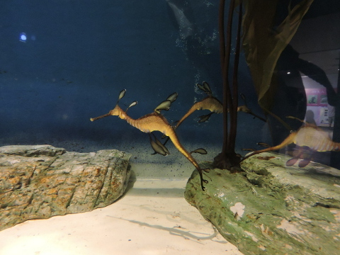 20170827-07_Weedy sea-dragon.JPG