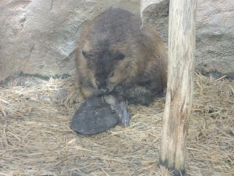 20170827-17_beaver.JPG