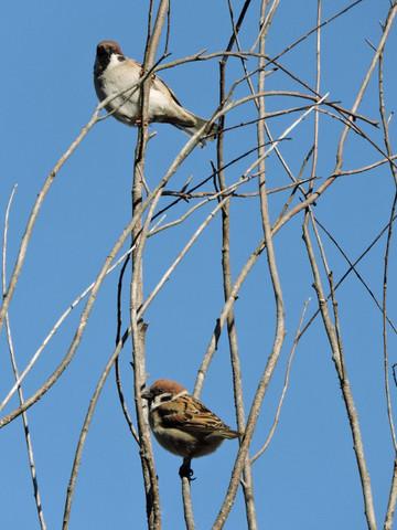 20180207-07_winter-sparrow.JPG