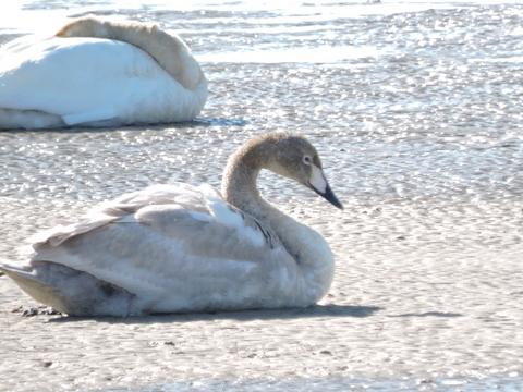 20180211-09_large-swan.JPG