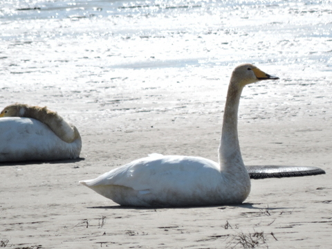 20180311-12_large-swan.JPG